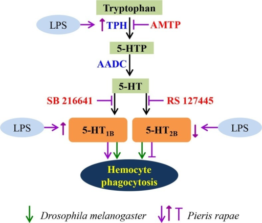 A schematic diagram of serotonin signaling on hemocyte phagocytosis.LPS enhances the expression of TPH, which catalyzes tryptophan into 5-HT via 5-HTP. 5-HT, which secreted from hemocytes, activates the hemocyte-membrane receptor 5-HT1B and 5-HT2B. The immune responses of P. rapae are labeled in purple: activation of 5-HT1B promotes hemocyte phagocytosis and activation of 5-HT2B lead to opposite effects. LPS increases 5-HT1B expression but decreases that of 5-HT2B. The immune responses of Drosophila are labeled in green arrows: activation of 5-HT1B promotes hemocyte phagocytosis and activation of 5-HT2B lead to the same effects.DOI:http://dx.doi.org/10.7554/eLife.12241.015