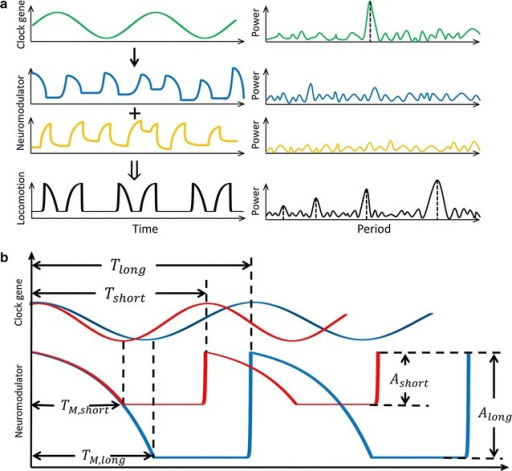 Our results make quantitative predictions about biochemical signals that may shape fly locomotor patterns. a Cartoon showing circadian genes and their products oscillate in a sinusoidal fashion (top row, left) and produce a power spectrum with a single peak (top row, right). We propose that efferent signal from the clock impinges on exponential processes that turn on/off stochastically in time. An example may be neuromodulator accumulation and release (middle rows, left). Without circadian regulation, the exponential process should result in noisy power spectra (middle rows, right). Integration of the sinusoidal with the exponential processes together with other signals (not shown) result in the observed shape of fly locomotion (bottom row, left). The resulting time series has multiple peaks in power spectrum by virtue of its non-sinusoidal shape (bottom row, right). b We suggest that the exponential processes that may underlie the observed shape in locomotion are temporally gated by the circadian clock. If so, then changing rhythm of the clock should cause corresponding changes both in the oscillatory period and the peak–peak amplitude of the gated signal. Shortening period of the clock () predicts speeding up of the periodic exponential process and decrease of its amplitude of oscillation (). In these cartoons, it is assumed that the rate at which the exponential process occurs, for instance, the rate of neuromodulator release, is not affected by the circadian clock speed. To underscore the constant rate, the first decay phase of the fast and slow exponential waves are overlaid