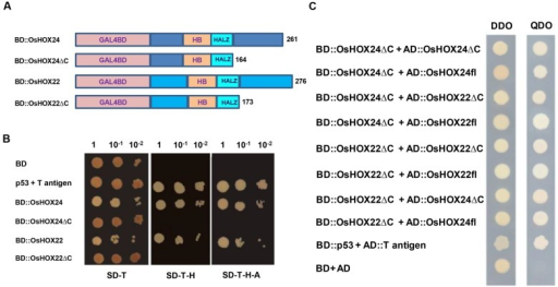 Transactivation and dimerization properties of homeobox proteins.(A) Schematic representation of full-length homeobox proteins (BD::OsHOX24 and BD::OsHOX22) and truncated (C-terminal acidic region removed) fusion constructs (BD::OsHOX24ΔC and BD::OsHOX22ΔC) used. (B) Transactivation assay of full-length and truncated (ΔC) homeobox proteins in yeast. The transformants grown on SD-Trp (SD-T, left) medium; SD-Trp-His medium (SD-T-H, middle) and SD-Trp-His-Ade (SD-T-H-A, right) medium are shown. (C) Dimerization assay of full-length (fl) and truncated (ΔC) homeobox proteins. The deletion constructs, BD::OsHOX24ΔC and BD::OsHOX22ΔC, were co-transformed with different combinations of full-length (AD::OsHOX24fl, AD::OsHOX22fl) and deletion constructs (AD::OsHOX24ΔC, AD::OsHOX22ΔC) of homeobox proteins in yeast, as indicated on left side panel. The transformants were grown on SD-Trp-Leu (DDO medium) and SD-Trp-Leu-His-Ade medium (QDO medium) for confirmation of interaction. pGBKT7-p53 + pGADT7-T antigen represents positive control. Empty pGBKT7 vector (BD) represents negative control for transactivation assay and pGBKT7 + pGADT7 represents negative control for dimerization assay.