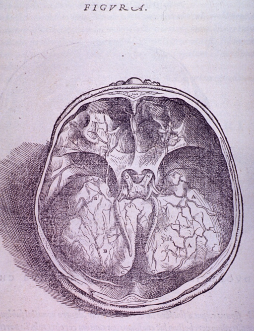 <p>Superior view of the base of the skull.</p>