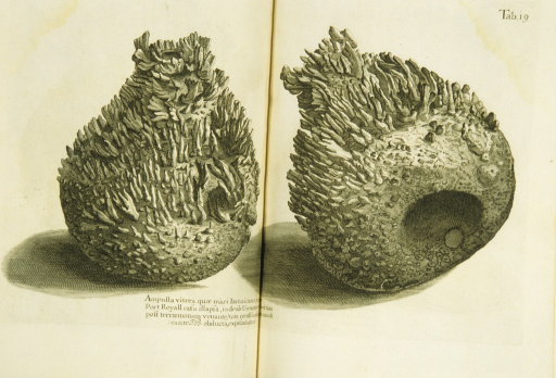 <p>Illustration of glass flasks covered with coral growths, the flasks having been submerged in the sea near Jamaica.</p>