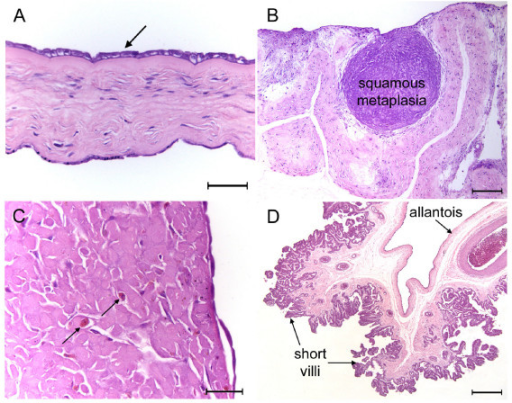 Fetal membranes of the tucuxi, Sotalia fluviatilis (A, C-D) and the boto, Inia geoffrensis (B). (A) The inner surface of the amnion (arrow) is lined by simple cuboidal epithelium. The outer mesothelium forms a simple squamous epithelium. H.E. (B) Folds of allanto-amnion with an area of extensive squamous metaplasia H.E. (C) Area of squamous metaplasia found close to the placenta showing macrophages (arrows) within the tissue. H.E. (D) Allantochorion from an area with poorly developed villous trees and short villi. H.E. Scale bars = 50 μm (A, C), 200 μm (B) 500 μm (D).