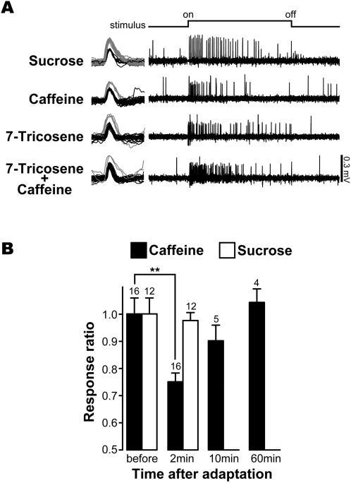 Caffeine and 7-T are detected by the same gustatory sensory neuron in i-type sensilla.(A) Above: 50 mM sucrose stimulated the L1 cell (on the left, spikes shown in gray = 0.2–0.3 mV). Below: in the same sensillum, caffeine excited the L2 cell, while 10−8M 7-T elicited a single class of spikes with an amplitude equivalent to those from the L2 cell (black spikes shown on the left = 0.1–0.2 mV). Bottom: a mixture of caffeine and 7-T (with similar concentrations as above) elicits high levels of activity in a single class of spikes. This indicates that 7-T activates the L2 cell but not the L1 cell. Recordings are shown for 4 sec and the stimulus application lasted for 2 sec. n = 10 (obtained with 5 male flies). (B) Caffeine and 7-T show cross-adaptation. Neuronal responses to caffeine were reduced following pre-stimulation with 7-T, supporting the hypothesis that 7-T and caffeine are detected by the same taste neuron. This effect was highly significant two minutes after pre-stimulation with 7-T (**: p = 0.0016; two tailed paired t-test). In contrast, the response to sucrose remained unaffected by pre-stimulation with 7-T. The response ratio was calculated from the number of spikes induced by a given substance, before and after prestimulation. The filled bar represents the response of the L2 cell to caffeine; the empty bar represents the response of the L1 cell to sucrose. The numbers represent the number of stimulated sensilla (each recording was made with a different fly).