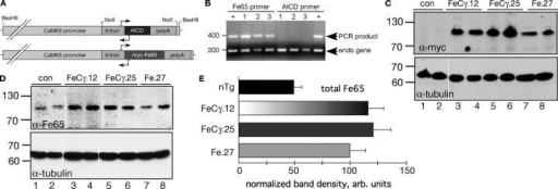 "Generation and characterization of double transgenic FeCγ and single Fe65 transgenic mice. (A) Construction of AICD and Fe65 transgenes. The horizontal lines with arrows shows the location of transgene specific primers. (B) A PCR reaction on tail DNA isolated from three pups from Fe.27 line from three different litters (lanes 1–3) using Fe65 (left) or AICD primers (right) was performed together with primers for mouse Xist gene. Lanes denoted ""+"" contained DNA from the founder mouse (Fe.27). Note that none of the pups carries the transgene for AICD. (C and D) Western blot analysis of brain homogenates from two animals from double transgenic lines (FeCγ.12 and FeCγ.25), single Fe65 transgenic line (Fe.27), and nontransgenic littermate controls. Blots were probed with anti-myc 9E10 (C; top panel) or anti Fe65 antibody 3H6 (D; top panel), and visualized by ECL. The blots were stripped and reprobed with anti-tubulin DM1A antibody as an internal control (bottom panels). (E) Quantitative analysis of total Fe65 levels as detected by 3H6 antibody. Protein levels were normalized to tubulin by reprobing the same blots after stripping. Quantification from three independent experiments. Values are the mean ± SEM; n = 6. Fe65 levels in FeCγ.12 and FeCγ.25 mice were significantly different from nontransgenic (nTg) animals (P < 0.0001), but not from Fe.27 mice (P = 0.04) by Bonferroni/Dunn test."