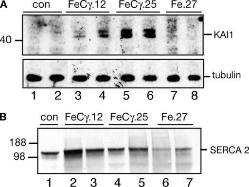 Increased KAI1 levels in AICD transgenic mice. (A) The AICD transgenic mice, but not the control or Fe.27 mice, show expression of KAI1 gene. Membrane fractions from indicated mice were probed with anti-KAI1 antibody. FeCγ.25 mice showed higher expression of KAI1 protein compared with FeCγ.12 mice. (B) Membrane fractions from indicated mice were probed with anti-SERCA 2b antibody. No significant changes in SERCA 2b levels were reproducibly observed in FeCγ transgenic mice.