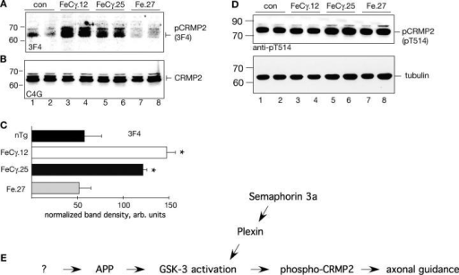 "Phosphorylation of CRMP2, a GSK-3β substrate, in transgenic mice. (A) Brain cytosol fractions were probed with antibody 3F4, which recognizes CRMP2 phosphorylated at T509 and S522. Note the elevated levels of phospho-CRMP2 in FeCγ transgenic mice compared with Fe.27 or nontransgenic control mice. (B). The blot used above was stripped and reprobed with antibody C4G, which recognizes total CRMP2. The levels of total CRMP2 are not changed. (C) Quantitative analysis of phospho-CRMP2 levels as detected by 3F4 antibody. Protein levels were normalized to tubulin by reprobing the same blots after stripping. Quantification from three independent experiments. Values are the mean ± SEM; n = 6. *, P < 0.05 against nontransgenic (nTg) or Fe.27 mice by Fisher's PLSD test. (D) Levels of CRMP2 phosphorylated at T514 were not changed in transgenic mice (top panel). The blot was stripped and reprobed with antitubulin antibodies as a loading control (bottom panel). (E) A hypothetical cascade of signaling events, similar to Sema3a signaling pathway, suggests a role for APP in axonal guidance. The cleavage of APP to release AICD activates GSK-3β and results in phosphorylation of CRMP-2 at S522 and T509–the same residues that mediate the repulsive action of Sema3a upon binding to Plexin/Neuropilin receptors. F-spondin, an extracellular signaling protein of floor plate and hippocampus which is involved in axonal pathfinding and neurite outgrowth, could be a candidate signaling protein (shown by ""?"") because it binds APP and inhibits AICD production."