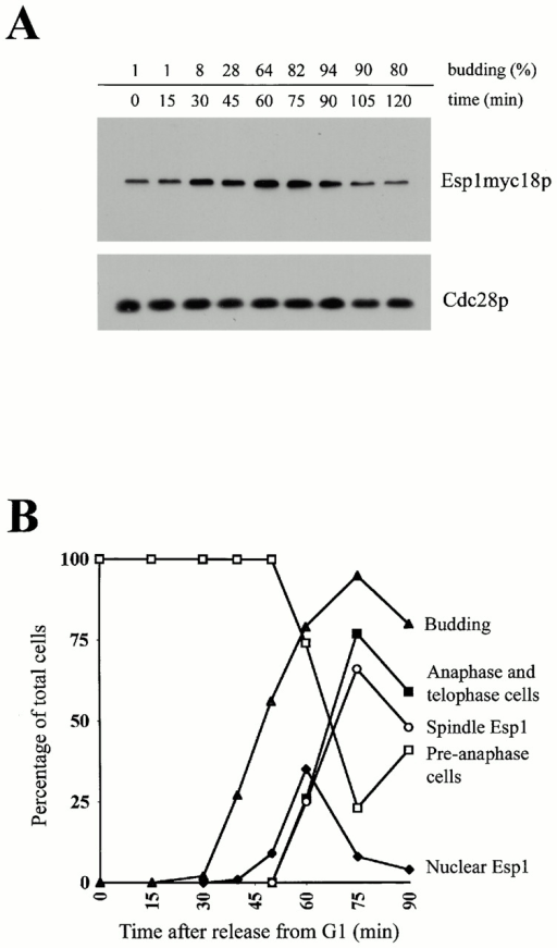 Cell cycle–dependent regulation of Esp1. (A) Esp1 protein level during the cell cycle. Strain carrying epitope-tagged Esp1 integrated at the chromosomal locus (SY108) was arrested in G1 with α-factor. Cells were released into YEPDextrose at 25°C and aliquots removed at indicated times for analysis of cell morphology, Esp1 and Cdc28 protein levels, and FACS® analysis. (B) Cell cycle changes in Esp1 localization in live cells. Strain carrying GAL1-inducible ESP1GFP (SY101) was arrested in G1 with α-factor. 30 min before release, 2% galactose was added to induce Esp1GFP. Cells were released into YEPDextrose at 30°C, and aliquots were removed at intervals for analysis by real time microscopy, determination of budding index and cell-cycle progression by DAPI stain. (□) Cells with preanaphase nuclear morphology; (▪) cells with anaphase and telophase nuclear morphology; (▴) budding index; (♦) nuclear localization of Esp1; (○) spindle localization of Esp1.
