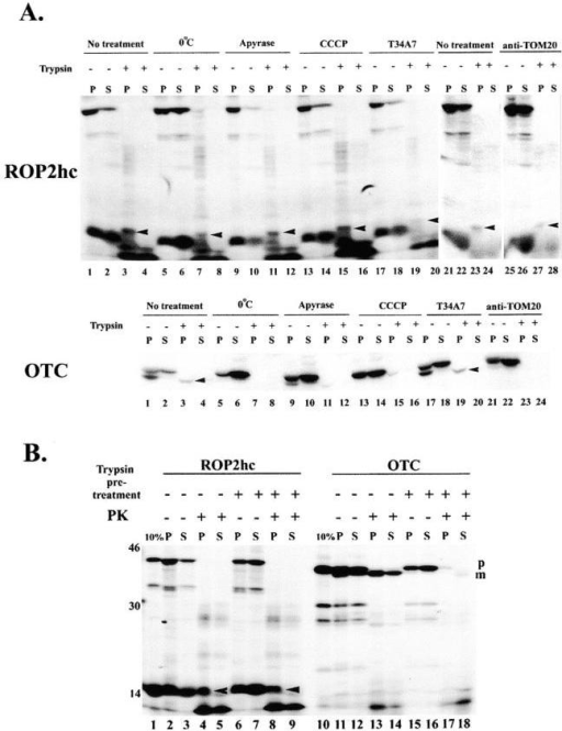 "ROP2hc translocation is not affected by treatments blocking import to the matrix. (A) Effect of treatments known to inhibit import to the matrix and the mAb T34A7, on ROP2hc, and OTC import. The standard import assay, and all treatments except for that of temperature (0°C) were conducted by incubating mitochondria with the appropriate 35S-Met–labeled substrate in an reticulocyte lysate on ice for 15 min, followed by import for 20 min at 30°C. The effect of temperature was determined by the 15-min pretreatment on ice followed by an additional 20 min at 0°C. ATP depletion was achieved by pretreatment with apyrase (5 U/ml) on ice for 15 min followed by import for 20 min at 30°C with apyrase present. Dissipation of the membrane potential (ΔΨ) was achieved by pretreatment on ice with CCCP (2 mM), followed by import for 20 min at 30°C in the presence of CCCP. The effect of the mAb T34A7 on import was determined by preincubating the reticulocyte lysate with the ascites at 1:20 dilution for 15 min on ice before addition to mitochondria and import at 30°C. Treatment with anti-TOM 20 antibody was performed by its addition to the import mixture (reticulocyte lysate with mitochondria) at 1:10 dilution for 15 min on ice followed by incubation at 30°C for 20 min. None of the treatments blocked the binding of ROP2hc to the mitochondrial pellet (ROP2hc, lanes 1, 5, 9, 13, 17, 21, and 25). Insertion and/or translocation across the MOM was determined by the generation of the 17-kD protease-protected fragment in the mitochondrial pellet in the presence of exogenous trypsin, the position of which is shown by the arrowhead. Neither incubation at 0°C (ROP2hc, P, lane 7, arrowhead), ATP depletion (ROP2hc, P, lane 11, arrowhead), or the dissipation of the ΔΨ (ROP2hc, P, lane 15, arrowhead), affected the generation of the protease protected fragment indicating ROP2hc does not use the matrix targeted pathway. In contrast, preincubation of the reticulocyte lysate with the mAb T34A7 (epitope included in aa 98–127 of ROP2hc) inhibited the generation of the ROP2hc protease-protected fragment (ROP2hc, P, lane 19, arrowhead) but failed to inhibit the import and processing of OTC (OTC, lane 19). Incubation in the presence of anti-TOM20 ablated the import and processing of OTC (OTC, lane 23) but failed to affect ROP2hc translocation (ROP2hc, lane 23). The ""no treatment"" control for the anti-TOM20 assay for ROP2hc is in lanes 21–24. As a control for all the treatments tested, OTC import and processing from the precursor to the mature (arrowhead) form was blocked by incubation at 0°C (OTC, lane 7), apyrase (OTC, lane 11), CCCP (OTC, lane 15), and anti-TOM20 (OTC, lane 23). For OTC, all the treatments (except for T34A7) revealed only the precursor form (p) when trypsin treatment was excluded (lanes 5 and 6, 9 and 10, 13 and 14, 21 and 22). In this experiment, the inhibition by apyrase was incomplete (OTC, lanes 13–16). (B) Pretreatment of mitochondria with trypsin fails to inhibit the translocation of ROP2hc across the MOM. The use of PK to assess ROP2hc translocation into mitochondria results in the generation of a slightly smaller (15-kD) protease protected fragment in the standard import assay (lane 4, arrowhead). The generation of this fragment is not affected by trypsin pretreatment of mitochondria indicating a trypsin-sensitive surface receptor is not involved in ROP2hc translocation (lane 8, arrowhead). Trypsin pretreatment completely abolished the import and processing of OTC as only the precursor form is observed in the absence of PK (lanes 15 and 16). Upon the addition of PK to nontrypsinized mitochondria, only the mature (m) form is detected in the pellet (lane 13). The band in the supernatant fraction represents contamination from the pellet as it is comprised entirely of the processed, mature (m) form (lane 14). The effect of trypsin pretreatment was examined by treating mitochondria with trypsin (1 mg/ml final concentration) for 15 min on ice, inactivation with SBTI as above, and reisolation by centrifugation. Pelleted mitochondria were resuspended in import buffer + SBTI to 20 mg/ml organelle protein and a standard import reaction performed. Import was assessed using protection from proteinase K as described in the experimental procedures."