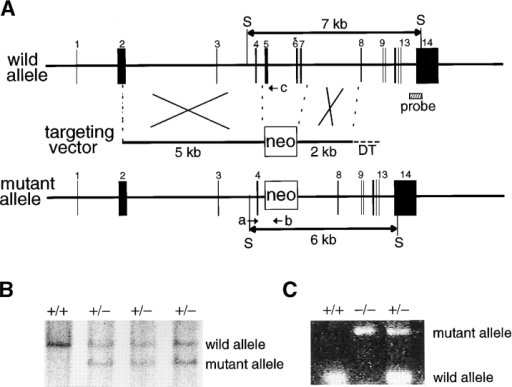 Targeted disruption of the Uba3 gene. (A) The targeting vector and the targeted allele. The coding exons numbered in accordance to initiation site as exon 1 are depicted by black boxes. A probe for Southern blot analysis is shown as a striped box. The positions of PCR primers are indicated by arrows. An asterisk denotes the essential cysteine residue on exon 6. Mouse Uba3 cDNA sequence is available from GenBank/EMBL/DDBJ under accession no. AY029181. S, SpeI site; neo, neomycin-resistant gene cassette. (B) Southern blot analysis of genomic DNA extracted from mouse tail. The DNA was digested with SpeI and subjected to hybridization with 3′ external probe shown in A. Wild-type and mutant alleles are detected as 7- and 6-kb bands, respectively. (C) Genotyping of blastocysts by PCR analysis. Wild-type (a and c, 400 bp) and mutant alleles (a–b, 900 bp) are shown. The existence of homozygous embryo at E3.5 was confirmed.