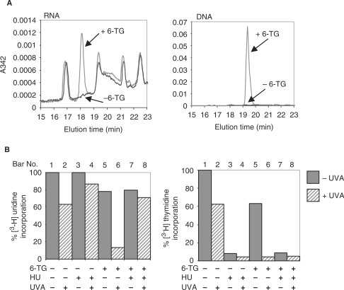 The effects of RNA and DNA 6-TG. (A) 6-TG substitution. CCRF-CEM cells were treated with 0.8 μM 6-TG for 24 h. DNA and RNA were extracted and digested to nucleosides and analysed by HPLC. 6-TG nucleosides were detected by A342. (B) 6-TG in DNA versus RNA as inhibitors of transcription. CCRF-CEM cells treated as indicated for 2 h with 1 mM HU were grown further in the presence or absence of 0.8 μM 6-TG and/or 1 mM HU for 24 h. Following UVA irradiation (10 kJ/m2) and an additional 1 h incubation in the presence or absence of HU, cells were labelled with 1 μCi/ml [3H-uridine] or 1 μCi/ml [3H-thymidine] for 15 min and incorporation of radioactivity into TCA-insoluble material was determined by scintillation counting.