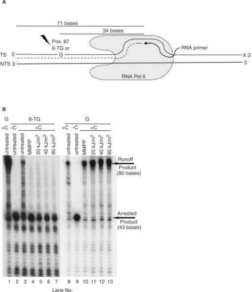 Inhibition of RNAPII transcription in vitro by oxidised template 6-TG. (A) In vitro transcription set-up. The transcription system comprises a radiolabelled 9-mer RNA primer and two 124-mer DNA oligonucleotides. The 124-mer transcribed strands contain either a single G or 6-TG at position 87. (B) Oxidation products of 6-TG block in vitro transcription. Transcribed strand oligonucleotides were treated with MMPP or UVA prior to formation of the ternary complexes. These were supplemented with GTP, ATP and UTP and transcription was initiated by purified S. cerevisiae RNAPII in the presence or absence of CTP. Transcription products were analysed by gel electrophoresis.