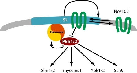 Model for Nce102 function in sphingolipid sensing. Nce102 (green) senses sphingolipid levels in the plasma membrane by distributing between the thick sphingolipid-rich MCC (blue) and the rest of the plasma membrane (gray) depending on sphingolipid levels. In the MCC, it inhibits Pkh kinases (red) that localize under this domain at eisosomes.