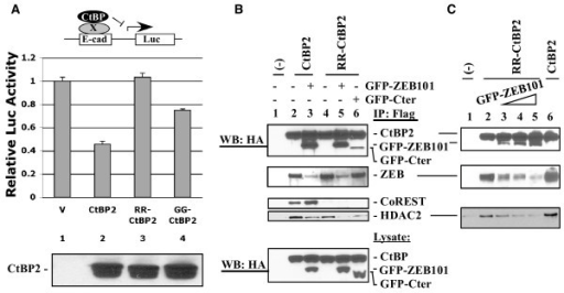 Transcriptional repression by CtBP2 and mutants and competition between HDAC and ZEB for RR-CtBP2 binding. A, Repression of E-cad promoter by CtBP2 and mutants. CtBP1/2 double knock-out cell line MEF90 cells were co-transfected with pE-cad-Luc, phRL-tk (for internal control), and various CtBP2 constructs. Dual luciferase assay was performed as described [11]. Lysates were examined for CtBP expression by western blot with the CtBP2 antibody (lower panel). B, Interaction of wt CtBP2 and RR-CtBP2 with endogenous ZEB and HDAC2 in the presence of GFP-ZEB101. HeLa cells were co-transfected with CtBP2 and GFP-ZEB101. Cell lysates were immunoprecipitated with the Flag antibody beads and precipitated proteins examined by western blots as indicated. Both CtBP proteins and GFP fusion proteins carry an HA tag and are recognized by the HA antibody. C, Competition between GFP-ZEB101 and HDAC2 for binding to RR-CtBP2. HeLa cells were co-transfected with CtBP2 and increasing amounts of GFP-ZEB101. Co-IP and western blot analyses were performed as in B.