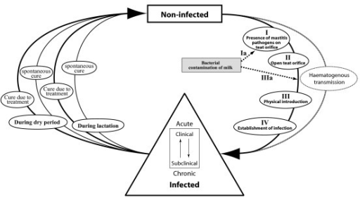 The infection process flow diagram.