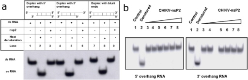 Strand displacement activity of CHIKV-nsP2T.With different RNA substrates: Unwinding activity of the protein was checked using different RNA substrates. CHIKV-nsP2 protein was incubated with RNA duplexes with 5′ overhang (lanes 1, 2, 3); with 3′ overhang (lanes 4, 5, 6) and with blunt ends (7, 8, and 9). With different protein concentrations: Unwinding activity was carried out in presence of increasing concentrations of CHIKV-nsP2T using RNA substrate with both 5′ and 3′ overhangs, Lanes (1) control, (2) heat denatured substrate RNA, and (3 to 8) different CHIKV-nsP2T concentrations (1, 10, 50, 100, 500 and 1000 ng).