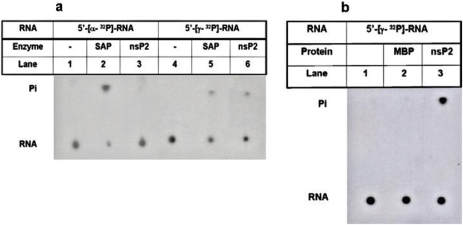 RNA 5′-triphosphatase activity of CHIKV-nsP2T.MBP-nsP2T and shrimp alkaline phosphatase (SAP) were incubated with 5′-γ-32P/5′-α-32P labeled nonspecific RNA (5′-GGGA24-3′) substrates separately at 37°C for 30 min and analyzed by TLC. Lanes 1) 5′-[α-32P]-RNA, 2) 5′-[α-32P]-RNA with SAP, 3) 5′-[α-32P]-RNA with CHIKV-nsP2T, 4) 5′-[γ-32P]-RNA, 5) 5′-[γ-32P]-RNA with SAP, 6) 5′-[γ-32P]-RNA with CHIKV-nsP2T. CHIKV-nsP2T was incubated with 5′-[γ-32P] labeled CHIKV 5′-NCR RNA at 37°C for 30 min, products was analyzed by TLC and the plate was exposed to X-ray film. Lanes 1) RNA without protein, 2) RNA with MBP, 3) RNA with CHIKV-nsP2T.