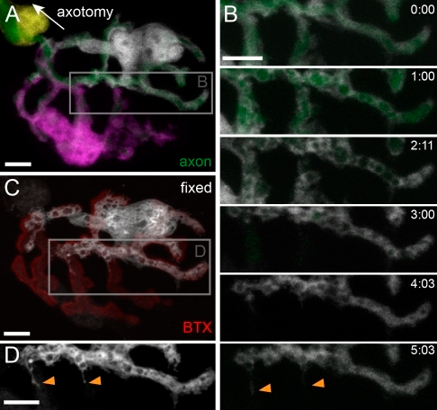 Acute axon removal causes delayed SC expansion. (A) NMJ with single-cell labeling before two-photon laser–induced axonal degeneration (SCs pseudocolored in white, magenta, and yellow). The axon was severed at the second node of Ranvier away from the synapse (white arrow indicating direction; not in frame). (B) Time-lapse recording over a period of 5 h shows AAD (note fragmentation after 1 h), which led to local SC outgrowth (orange arrowheads; shown in area boxed in A). (C and D) Fixation after 5 h and staining for BTX reveal local outgrowth along several NMJ branches (orange arrowheads in D show fixed SC channel only in the area boxed in C). The timers shown represent hours/minutes. Bars, 5 µm.
