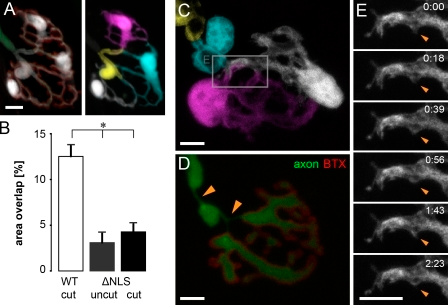 SC segregation is activity independent but requires axonal presence. (A) Block of neurotransmission by BoTX treatment did not alter morphology of SCs after 3–4 d. Axon (green), synaptic gutter (BTX [red]) and SCs (white [left] and individually pseudocolored [right]). (B–E) Mice with delayed axon fragmentation (ΔNLS) do not show SC intermingling for up to 2 d after transection. (B) Quantification of area overlap after axotomy in ΔNLS mice (mean of SCs + SEM; *, P < 0.01 using a t test; ΔNLS cut, n = 36 SC pairs, three triangularis sterni muscles; ΔNLS uncut, n = 20 SC pairs, three triangularis sterni muscles; WT cut, n = 31 SC pairs, seven triangularis sterni muscles). (C) Single-cell labeling of an NMJ 2 d after axotomy shows segregated SCs and a preserved axon (D) on top of the synaptic gutter (BTX). Despite preserved axon continuity, local axon atrophy was observed (orange arrowheads in D). (E) Time-lapse microscopy over a period of >2 h demonstrates the lack of terminal SC dynamism at axotomized ΔNLS NMJs (shown in the area boxed in C). The timers shown represent hours/minutes. Bars, 5 µm.