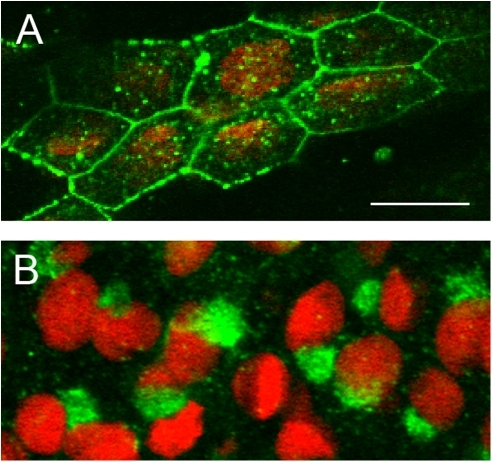 Cx40.8 is localized to different subcellular compartments during ontogeny and regeneration.(A) During ontogeny, Cx40.8 immunofluorescence (green) on whole fins counterstained with propidium iodide (red) shows that Cx40.8 locates to the plasma membrane and vesicles. (B) During regeneration, Cx40.8 is intracellular and staining is consistent with the Golgi apparatus.