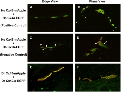 Cx43-mApple and Cx40.8-EGFP co-assemble in common gap junction channels.High resolution fluorescence microscopy was used to provide evidence for co-association of Cx43-mApple and Cx40.8-EGFP in common gap junction channels. Constructs that were co-transfected in HeLa cells are indicated to the left of the panels (A, B) Homo sapiens (Hs) Cx43-mApple + Hs Cx43-EGFP show uniformly yellow plaques, suggesting co-asociation. (C, D) Hs Cx43-mApple + Hs Cx26-EGFP show discrete green and red domains, revealing a lack of co-association. Arrows indicate green Hs Cx26-EGFP localization and arrowheads indicate red Hs Cx43-mApple localization. (E, F) Danio rerio (Dr) Cx43-mApple + Dr Cx40.8-EGFP show uniform yellow distribution.