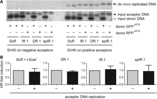 Testing the impact of target DNA synthesis on DNA repeat-mediated homology-directed gene repair. (A) SV40 ori-dependent DNA replication of acceptor constructs. Acceptor plasmids containing the test sequences ScR, IR.1, DR.1 or spIR.1 and with or without SV40 ori were transfected into COS-7 cells together with the homologous donor construct GFPΔATG or the nonhomologous donor plasmid RFPΔATG. At 3 days post-transfection, extrachromosomal DNA was extracted and treated with XbaI and the prokaryotic DNA methylation pattern-sensitive restriction enzyme DpnI. After agarose gel electrophoresis, the resolved DNA was subjected to Southern blot analysis using a GFP-specific probe. DpnI-resistant, de novo replicated DNA, was detected only in samples of cells transfected with SV40 ori-positive acceptor plasmids (right-hand side upper panel). (B) Relative homology-directed gene repair frequencies in COS-7 cells transfected with GFPΔATG, the indicated acceptor plasmids with (+) or without (−) SV40 ori and in one case also pCAG.I-SceI.