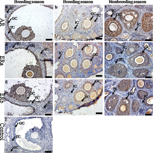 The immunolocalization of AR and ERs in the ovary of wild female ground squirrels. The immunolocalization of androgen receptor (a, b, c), ERa (d, e, f) and ERb (g, h, i) in the ovary of wild female ground squirrels during the breeding and nonbreediang seasons. The breeding season divided into two stages, the large follicle stage (a, d, g) and the small follicle (b, e, h). j, negative control. IC, interstitial cell; TC, theca cell; GC, granulosa cell. Bars =50μm.