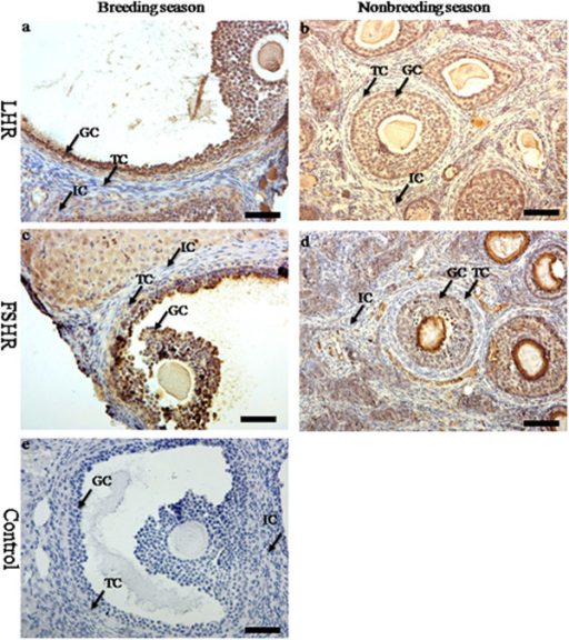The immunolocalization of FSHR and LHR in the ovary of wild female ground squirrels. The immunolocalization of FSHR (a, b) and LHR (c, d) in the ovary of wild female ground squirrels during the breeding and nonbreediang seasons. e, negative control. IC, interstitial cell; TC, theca cell; GC, granulosa cell. Bars =50μm.