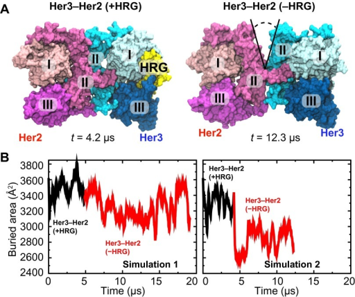 Her3–Her2 heterodimer.(A) Snapshots from the simulations of the Her3–Her2 heterodimer with (left) and without (right) HRG bound to Her3. At the end of the simulation with HRG bound to Her3, HRG was removed, and the resulting system was resolvated and further simulated without the ligand. A gap opened in the dimer interface, as illustrated by the snapshot on the right. For clarity, these images omit domain IV. (B) The surface area buried within the dimer interface, counting the contributions only from domains I, II, and III, plotted as a function of time. Two independent sets of two simulations each (with and without HRG) are shown.DOI:http://dx.doi.org/10.7554/eLife.00708.008