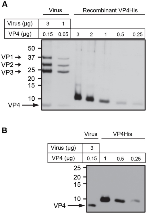Purity and concentration of recombinant VP4 assessed by SDS-PAGE.Concentration of purified VP4His estimated by protein assay was confirmed by comparison with known quantities of native VP4 in preparations of purified virus. HRV16 (3 or 1 µg, equivalent to 0.15 or 0.05 µg VP4 respectively) and VP4His at amounts indicated, were subjected to SDS-PAGE and visualized by silver staining (A) or western blot using antisera to VP4 (B). Molecular mass markers (in kilodaltons) are indicated on the left. Arrows show expected position of the indicated viral proteins. The migration of VP4His appears slower with increasing concentration as a result of the increasing concentration of DMSO in these samples. The migration of VP4His was not altered when diluted in a constant concentration of DMSO (figure S1).