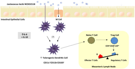 Schematic model for the immunomodulatory effects of Lactococcus lactis NCDO 2118 in DSS-induced colitis. Orally administered Lactococcus lactis NCDO 2118 is able to induce an early increase in IL-6 production and to sustain IL-10 secretion in colonic tissue of the dextran sulphate sodium (DSS)-induced murine model of ulcerative colitis. It also increases the number of local tolerogenic dendritic cells (CD11c+CD11b-CD103+). These cells migrate to the mesenteric lymph nodes and stimulate the expansion of CD4+CD25+LAP+ cells, a regulatory type of T cell (Treg), leading ultimately to downmodulation of colitis.