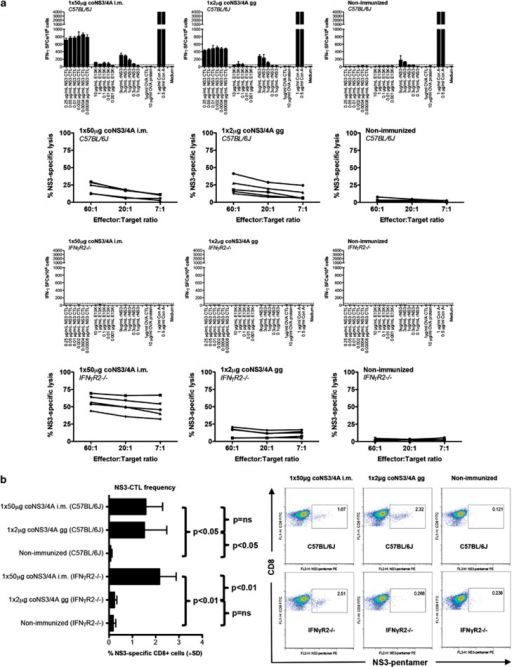 Priming of NS3-specific immune responses after intramuscular and transdermal DNA immunization. Groups of five C57BL/6J or IFNγR2−/− mice were immunized using intramuscular needle injection, transdermal gene gun (gg) injection or left untreated. At 2 weeks after the last immunization, mice were killed and splenocytes harvested for determination of T-cell responses. In (a, rows 1 and 3), the number of IFN-γ spot-forming cells (SFCs) by ELISpot assay was determined 36 h after in vitro stimulation of splenocytes with CTL and T-helper peptides or recombinant NS3 protein at the indicated concentrations. Results are given as mean SFCs per 106 (±s.d.), the cutoff was set to 50 SFCs per 106 splenocytes. In (a, rows 2 and 4), the lytic activity determined by a 51Cr-release assay using peptide-loaded (GAVQNEVTL) RMA-S cells from individual mice at E:T ratios of 60:1, 20:1 and 7:1 is shown. Specific lysis above 10% was considered positive. Each line indicates an individual mouse. In (b), expansion of NS3-specific CD8+ T cells was determined using direct ex vivo pentamer staining. GAVQNEVTL epitope-specific CD8+ T-cell frequencies are shown as the percentage of GAVQNEVTL pentamer-positive CD8+ T cells (±s.d.). Also, representative dot plots from each group are shown. The presence of a statistical difference (Mann–Whitney U-test) was indicated as follows: P<0.05 and P<0.01. NS, not significant.