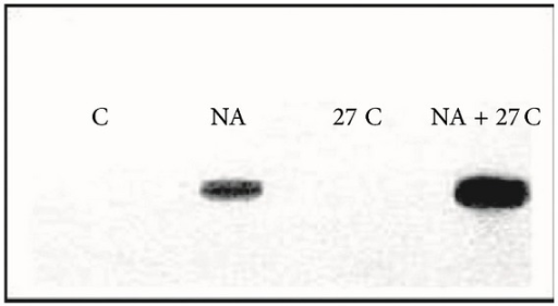 Effect of 2 h heat shock (27°C) and sodium arsenate (10 μm) in A6 cells of Xenopus laevis with control 22°C [120].