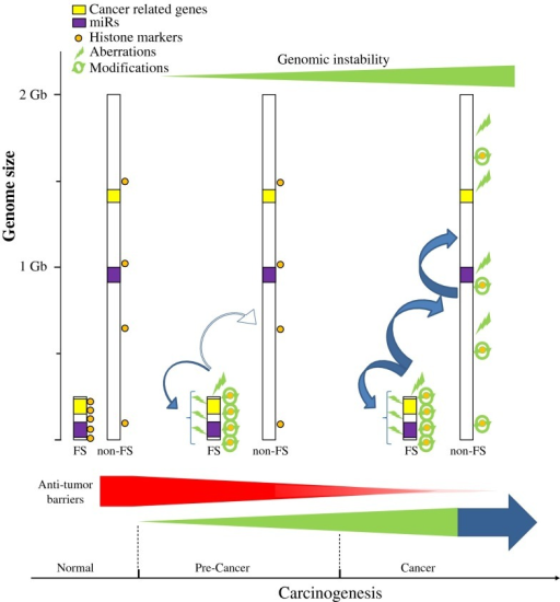 "Model proposing that CFS apart from contributing to GI exert wider biological effects during cancer development. CFSs are preferentially affected from the earliest precancerous lesions, in response to OIRS, conferring to GI. A wide spectrum of coding and non-coding elements are present within CFSs. Cancer-related genes and miRs may be affected from such early precancerous stages, therefore possibly exerting a strong pressure for malignant progression. This pressure is also reinforced by alterations and imbalances in the binding elements and histone patterns, respectively, in the CFSs. Furthermore, collectively, all of these alterations may further affect in an ""avalanche"" mode not only the stability of the CFSs, but overall of the genome. As the anti-tumor barriers are gradually overwhelmed, this avalanche effect may function in a positive feedback mode to promote cancer"
