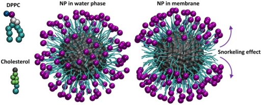 Coarse-grained models of the system components.DPPC molecule (top, left), cholesterol molecule (bottom, left), nanoparticle simulated in the water phase (center), and nanoparticle simulated in a membrane containing 30% cholesterol (right) (final snapshots). The molecules or CG beads are not shown to scale. Colors: Negative beads bearing -1e charge = purple; hydrophobic beads = cyan; positive beads = blue; cholesterol hydroxyl bead = gray; glycerol backbone beads = white; cholesterol sterol body beads = lime. The core of the NP is shown in gray and surface representation, whereas the hydrophobic parts of NP surface ligands are shown in a bead-spring representation. Arrows indicate the tendency of the surface charged ligands to associate with the DPPC head groups and their hydrophobic parts to interact with the hydrophobic core, inducing a snorkeling effect.