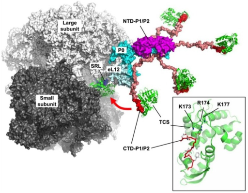 Structural insights into how eukaryotic stalk recruits trichosanthin (TCS) to the α-sarcin/ricin loop (SRL). The structural model of eukaryotic stalk complex created as described [27] was docked to the crystal structure of yeast ribosome [22]. P0 (cyan) binds two copies of P1/P2 heterodimers via their N-terminal domains (NTD) (magenta). The C-terminal domain (CTD) of P1/P2 (red) is connected to the NTD via a flexible linker (salmon). The consensus sequence (SDDDMGFGLFD) at the CTD forms a complex with trichosanthin (green), in which the K173, R174 and K177 form favorable charge-charge interactions with the DDD motif of P1/P2 (inset). The normal function of the hydra-like structure of eukaryotic stalk, which can extend up to 125 Å from the stalk base, is to recruit elongation factors to GTPase association center of ribosomes. It is postulated that TCS gains access to the SRL by hijacking this elongation-factor-recruiting machinery of eukaryotic ribosomes.