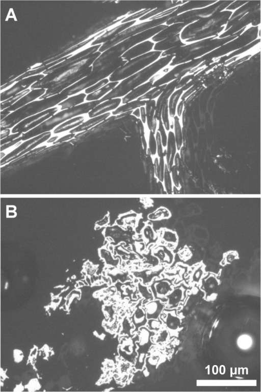 Photomicrographs illustrating charcoals from 'undegraded' and 'biodegraded' categories, (A) undegraded gymnospermous woody fragment, (B) Plant tissue showing evidence of biodegradation prior to charring: the presence of cell infillings formed from biodegradation of the cell wall, distortion of cell walls, and cavity formation in secondary walls.Photographs were taken using reflected-light microscopy with immersion oil.