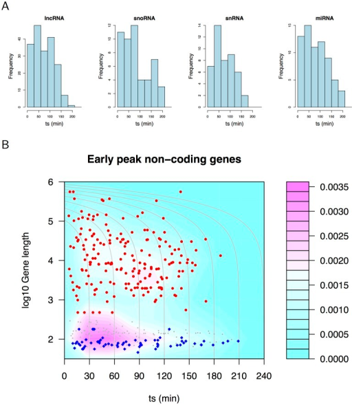 Non-coding RNA gene activation.(A) Histograms of ts for lncRNA, snoRNA, snRNA and miRNA precursors show these genes are activated rapidly. (B) Density plot of early peak gene length against ts for all RNA biotypes (grey symbols), lncRNA (red symbols) and miRNA precursors (blue symbols). LncRNA and miRNA form distinct clusters of RNAs activated with a wide range of kinetics.