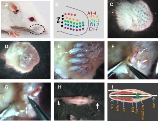 Dissection Procedures For Harvesting Whisker Hair Folli Open I