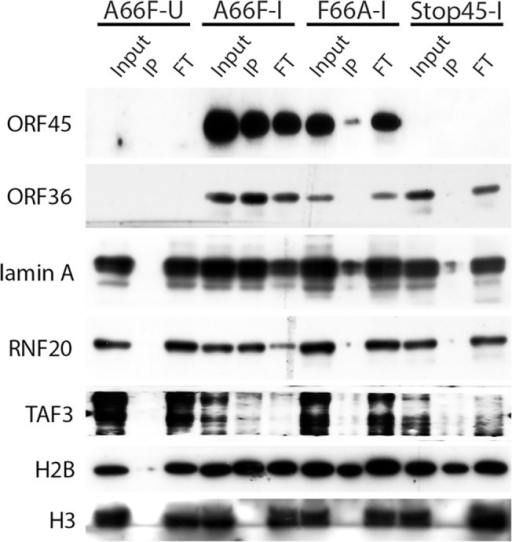Nuclear IP further validated ORF45/RSK-dependent phosphorylation of a subset of substrates.Nuclei were isolated from the indicated cell lines at 48 hpi, then subjected to IP using anti-RxRxxS*/T* magnetic beads. The input, eluate (IP), and flow-through (FT) were analyzed by western blot with the indicated antibodies.