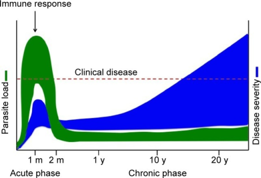Chagas disease progression.Notes:Trypanosoma cruzi infection consists of an acute disease phase characterized by elevated parasite load (green). Immune response brings parasite load down to low/undetectable levels. Chagas disease then progresses to the chronic phase, the severity of which (blue) depends on time since infection and host immune status or genetic background. In all, 30%–40% of Chagas patients in the chronic phase will develop clinical manifestations such as cardiomyopathy or megacolon; the remaining 60%–70% will stay asymptomatic (indeterminate form of the disease). Adapted from Tarleton RL. Trypanosoma cruzi and Chagas disease: cause and effect. In: Tyler KM, Miles MA, editors. American Trypanosomiasis. New York; Springer; 2003:107–116. With kind permission from Springer Science and Business Media.124Abbreviations: m, month; y, year.