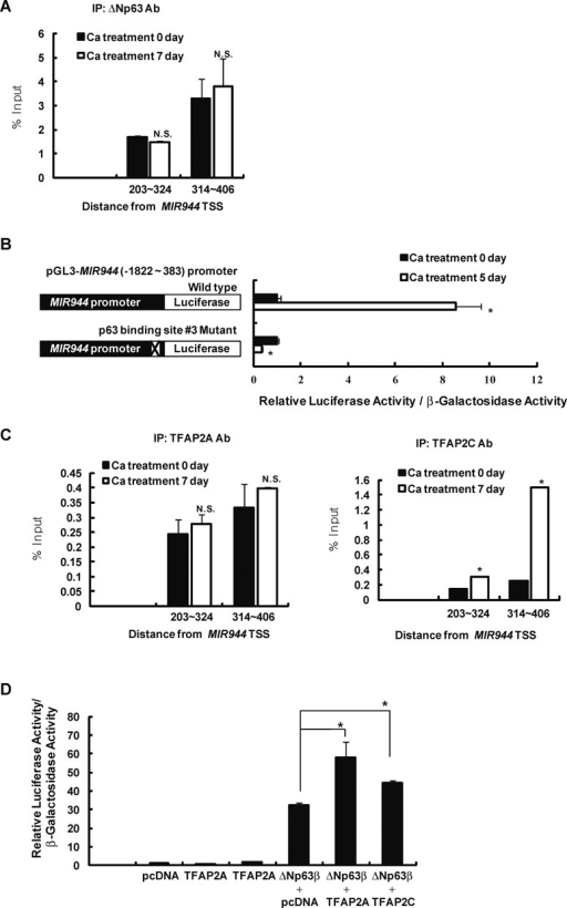 TFAP2A and TFAP2C functionally support the ΔNp63-mediated activity of the MIR944 promoter. (A) ChIP-qPCR results for binding of ΔNp63 to the MIR944 promoter in undifferentiated and differentiated keratinocytes. Data represent the means ± SD of triplicate biological samples and are representative of three different experiments. (B) Keratinocytes were transfected with a MIR944 promoter-luciferase construct or a p63-binding site #3 mutant of the MIR944 promoter-luciferase construct. After 5 days of incubation in high-calcium medium, differentiated keratinocytes were lysed, and luciferase and β-galactosidase activities were measured. Luciferase activities were normalized to β-galactosidase activities. Data represent the means ± SD of triplicate biological samples and are representative of three different experiments. *P < 0.05 versus Ca treatment 0 day, unpaired Student's t-test. (C) ChIP-qPCR results for binding of TFAP2A (left panel) and TFAP2C (right panel) to the MIR944 promoter in undifferentiated and differentiated keratinocytes. Data represent the means ± SD of triplicate biological samples and are representative of three different experiments. *P < 0.05 versus Ca treatment 0 day, unpaired Student's t-test. (D) The effect of TFAP2A or TFAP2C overexpression on the ΔNp63-mediated activities of the MIR944 promoter was examined. WM266-4 melanoma cells were transfected with a MIR944 promoter-luciferase construct along with the indicated expression vectors. After 1 day of incubation, the luciferase and β-galactosidase activities were measured. Luciferase activities were normalized to β-galactosidase activities. Data represent the means ± SD of triplicate biological samples and are representative of three different experiments. *P < 0.05, unpaired Student's t-test. (E) Reduction in the expression of miR-944 with TFAP2A or TFAP2C depletion in keratinocytes. Keratinocytes were transfected with 50 nM siRNA against TFAP2A (si-TFAP2A), TFAP2C (si-TFAP2C), or si-NC. After 2 days, RNA was extracted, and expression levels were analyzed using RT-qPCR. TFAP2A and TFAP2C mRNA levels were normalized to RPLP0 expression, and miR-944 expression was normalized to that of RNU48 small RNA. Data represent the means ± SD of triplicate biological samples and are representative of three different experiments. *P < 0.05 versus si-NC, unpaired Student's t-test. (F) Keratinocytes were transfected with 50 nM siRNA against TFAP2A (si-TFAP2A), TFAP2C (si-TFAP2C), or si-NC. The following day, keratinocytes were transfected with a MIR944 promoter-luciferase construct. After 2 days of incubation, keratinocytes were lysed, and the luciferase and β-galactosidase activities were measured. Luciferase activities were normalized to β-galactosidase activities. Data represent the means ± SD of triplicate biological samples and are representative of three different experiments. *P < 0.05 versus si-NC, unpaired Student's t-test.