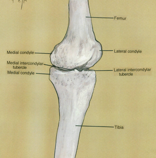 medial condyle; medial intercondylar tubercle; femur; lateral condyle; lateral intercondylar tubercle; tibia