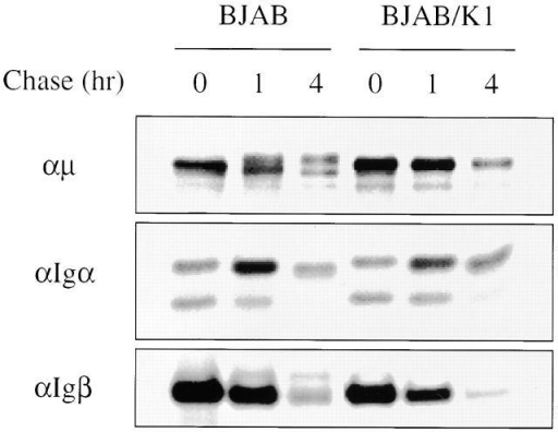 Maturation of BCR components. BJAB/babe (BJAB) and BJAB/K1 cells were metabolically labeled with [35S]methionine and [35S]cysteine for 30 min and chased for 1 and 4 h. Cells were lysed with 1% NP-40 buffer, and radioactively labeled lysates of BJAB/babe cells and BJAB/K1 cells were used for immunoprecipitation with an anti-μ, anti-Igα, or anti-Igβ antibody. Only the part of the gel displaying the μ chain, Igα, or Igβ is shown. The data were reproduced in three independent experiments.