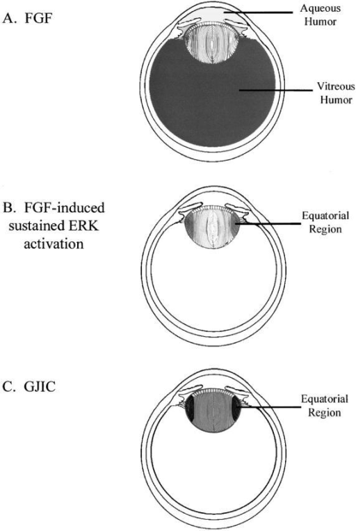 Model of the role of FGF in establishing regional differences in gap junction–mediated intercellular communication in the lens. (A) The concentration of FGF is known to be higher in the vitreous than in the aqueous humor. The level of FGF in the aqueous humor is too low to stimulate either gap junctional communication or fiber differentiation in the central epithelium. (B) Both the equatorial region and polar/core fiber cells have access to the high levels of FGF that diffuse out of the vitreous body, but only the former cell population can efficiently respond to this FGF by sustained activation of ERKs. (C) Sustained ERK activation leads to an increase in gap junctional intercellular communication (GJIC) in equatorial region cells. The decreased FGF signaling in polar and core fiber cells results in a reduction in intercellular coupling, thereby producing the observed equator-to-pole gradient of lenticular communication. See Discussion for details.