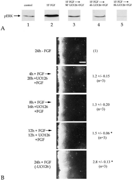 FGF-mediated upregulation of gap junctional intercellular communication in chick lens cells requires sustained activation of ERK. (A) 3-d-old DCDMLs cultured in M199/BOTS were incubated for 15 min at 37°C in the absence (lane 1; control) or presence of 15 ng/ml FGF-2. In lanes 3–5, 15 μM UO126 was then added to inhibit further activation of ERK. At the indicated times, the cells were solubilized in SDS and whole cell lysates were assessed for phosphoERK immunoreactivity. pERK immunoreactivity is lower in lane 5 than in the lane 1 control because UO126 reduces the level of basal ERK activity in DCDML cultures after long-term (>4 h) treatment (Le and Musil, 2001). (B) 3 d after plating, DCDML cells were incubated for an additional 24 h in either the absence of FGF (24 h −FGF), in the presence of 15 ng/ml FGF-2 (24 h + FGF), or for 4, 8, or 12 h in the presence of 15 ng/ml FGF-2 before addition of 15 uM UO126 and a further 20, 16, or 12 h incubation (respectively) in FGF plus UO126. The cells were then assayed for gap junction–mediated intercellular communication as described in the legend to Fig. 1 A. Only Lucifer yellow immunofluorescence is presented; rhodamine-dextran was confined to a single row of cells immediately bordering the wound. The values given to the right of the micrographs represent the fold Lucifer yellow transfer (± standard deviation) relative to untreated controls within the same experiment; n, number of independent experiments. The asterisks denote values significantly different from control (P < 0.05) as assessed by the two-tailed paired Student's t test; P for 12 h plus FGF compared with untreated control was 0.01. Note that at least 12 h of ERK activation was required for FGF to stimulate intercellular transfer of Lucifer yellow. Bar, 50 μm.