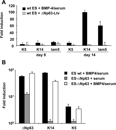 Ectopic expression of ΔNp63 does not induce efficient stratified epithelial commitment of ES cells.(A) Differentiating ES cells were either treated with BMP-4 (at day 3) or transduced (at day 4) with lentiviruses expressing either ΔNp63 or irrelevant proteins (red tomato or Pax6) as negative controls. Real-time RT-PCR analysis for K5, K14 and laminin-5 gene expression was performed at days 5, 8 and 14 of ES cell differentiation. The value for each gene was normalized to either untreated control cultures for BMP-4-treated ES cells or red tomato transduced control cultures for p63-transduced ES cells. The values represent an average of three determinations±sd. (B) Wild type ES or ES cells stably expressing ΔNp63 were induced to differentiate with and without BMP-4. Real-time RT-PCR analysis for K5, K14 and p63 gene expression was performed at day 14. The value for each gene was normalized to untreated wild type ES cells at day 14. The values represent an average of three determinations±sd.