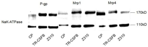 Western blot analyses indicate expression of Mrp1, 4 and P-gp. Whole protein was used from freshly isolated CP and membrane vesicles were isolated from cells (20 μg). There are slight differences in protein size possibly due to modifications in tissue and cells during processing.