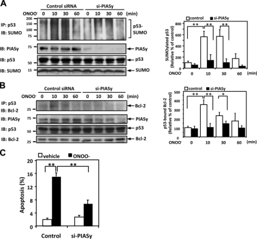 ONOO− induces p53 SUMOylation and p53–Bcl-2 binding via PIASy activation. (A and B) HUVECs were transfected with PIASy siRNA (si-PIASy) or control siRNA for 48 h and then stimulated with 100 µM ONOO– for the indicated times. p53 SUMOylation (A) and p53–Bcl-2 binding (B) were determined as described in Materials and methods. (left) PIASy and p53 expressions were detected by Western blotting with appropriate specific antibodies. Densitometric analyses of p53 SUMOylation (A) and p53–Bcl-2 binding (B) were performed as described in Fig. 1. (C) HUVECs were transfected with PIASy or control siRNA for 48 h. After treatment with 100 µM ONOO− for 8 h, apoptotic nuclei were detected by TUNEL staining. Data are expressed as mean percentages ± SD from three independent experiments. *, P < 0.05; **, P < 0.01. Molecular masses are given in kilodaltons. IB, immunoblot. IP, immunoprecipitation.