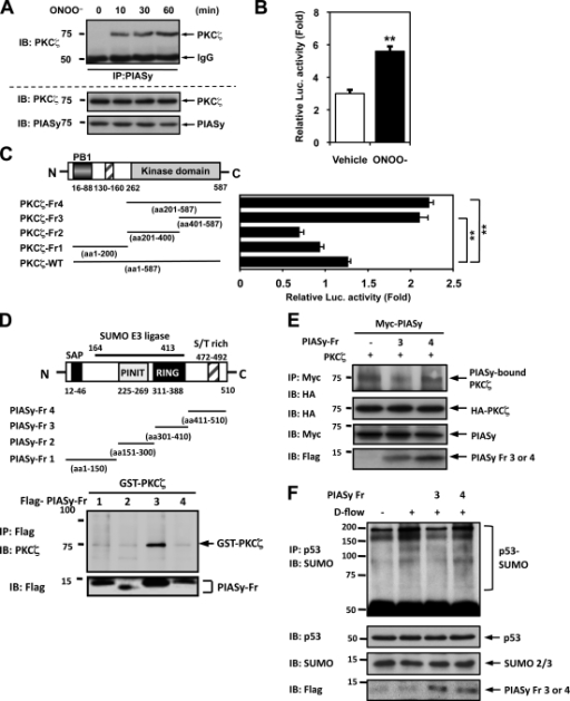 PKCζ–PIASy association is critical for p53 SUMOylation and p53–Bcl-2 binding. (A) HUVECs were stimulated with 100 µM ONOO– for the indicated times and subjected to immunoprecipitation with anti-PIASy followed by Western blotting with anti-PKCζ (top). (B and C) Association between PKCζ and PIASy was tested by a mammalian two-hybrid assay. HeLa cells were transfected with plasmids containing Gal4-PKCζ wild type and VP16-PIASy (B) or truncated mutants of VP16-PIASy (C) as well as the Gal4-responsive luciferase reporter pG5-luc. After 24 h of transfection, cells were stimulated with 100 µM ONOO− or vehicle for 16 h, and luciferase activity was quantified. Luciferase activity was normalized with the Renilla luciferase (Luc.) activity (Woo et al., 2008). Data are representative of three experiments using two or more different preparations of ECs (means ± SD; **, P < 0.01). (D) PIASy binding to PKCζ occurs via a domain consisting of aa 301–410 of PIASy. HeLa cells were transfected with each of the Flag-tagged PIASy fragments, and then pull-down assays were preformed using anti-Flag and IgG Sepharose beads in the presence of GST-fused recombinant PKCζ. Association of PIASy fragments with GST-PKCζ was assayed by Western blotting with anti-PKCζ. (bottom) PIASy fragment expression was detected by Western blotting with anti-Flag. (E) PIASy Fr3, but not Fr4, inhibited PKCζ–PIASy association. HUVECs were cotransfected with HA-tagged PKCζ wild type, Myc-tagged PIASy wild type, and Flag-tagged PIASy Fr3 or Fr4 for 24 h. Myc-PIASy wild type was immunoprecipitated with anti-Myc followed by immunoblotting with anti-HA (top). The expression of PKCζ, PIASy, and PIASy fragments was detected by Western blotting with specific antibodies. Data are representative of three independent experiments. (F) HUVECs were transfected with Flag-tagged PIASy Fr3 or Fr4 or control vectors for 24 h and then stimulated by d-flow for 3 h. p53 was immunoprecipitated using anti-p53, and d-flow–induced p53 SUMOylation was analyzed by immunoblotting with anti-SUMO2/3 (top). The expression of p53, SUMO, and PIASy fragments was detected by Western blotting with specific antibodies. Data are representative of three independent experiments. Molecular masses are given in kilodaltons. IB, immunoblot. IP, immunoprecipitation. WT, wild type.