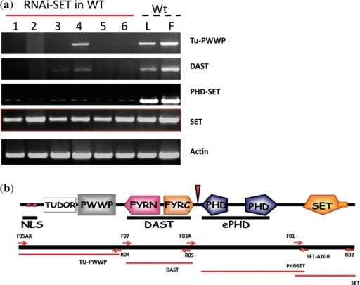 Transcripts produced from the ATX1 locus in RNAi- SET transformed plants. (a) RT–PCR analysis of ATX1 specific transcripts. The peptide domains encoded by the tested regions are shown to the right of the panels. Numbers of top of lanes indicate independently transformed lines tested for expression of ATX1 and its derivatives. As controls, all primers were tested for the specific fragment amplification in wild-type leaf (L) and flower (F) tissues. SET domain transcripts detected in all transgenic lines are shown in the panel indicated as SET. Transcripts from upstream ATX1 regions were not detected, except for weak bands corresponding to the Tu-PWWP and DAST regions in line 4. (b) Positioning of the primers used to amplify specific regions and of the produced transcripts are illustrated.